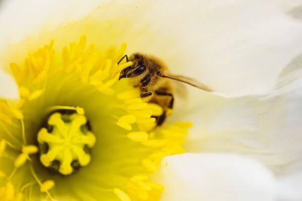 Kaip atsiranda medus