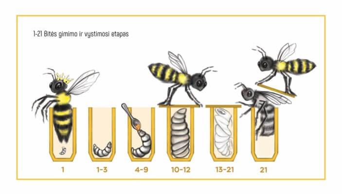 bitės gimimo ir vystimosi etapas