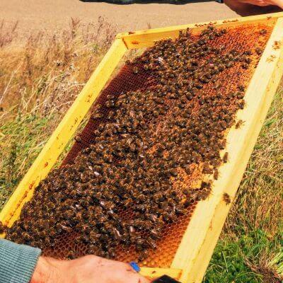 Bičių duonelės gydomosios savybės naudingos ne tik bitėms, bet ir žmonėms.
