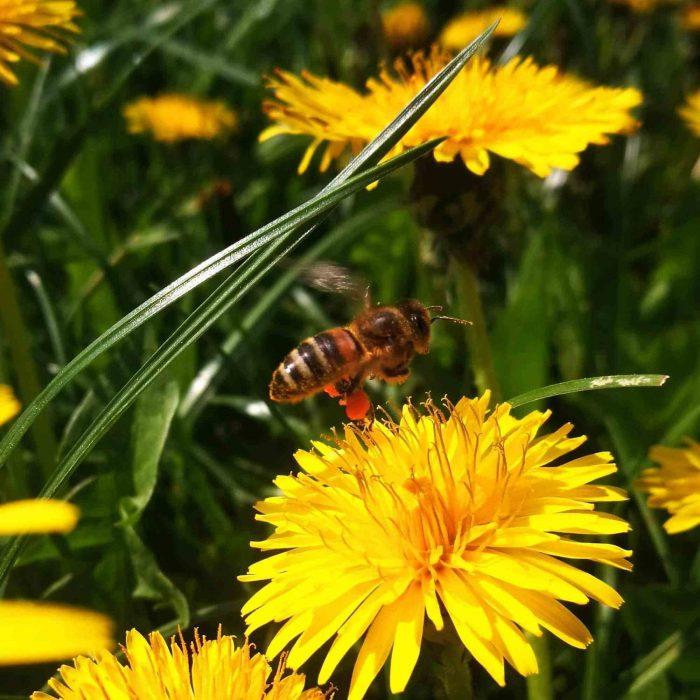 Žiedadulkės ant bitės kojų